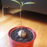アボカドを種から栽培!植え替える土の選び方は?
