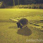 道路に突然ハリネズミ!スイスの秋のドライブは野生動物に注意